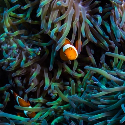 Two clownfish found in their anemone on the Great Barrier Reef.