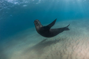 A seal playing in the water in Victoria.