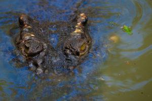 Crocodile swimming in the water.