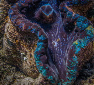 A giant clam found on the Great Barrier Reef.