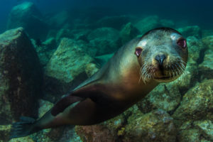 A close up shot of a seal swimming near Victoria.