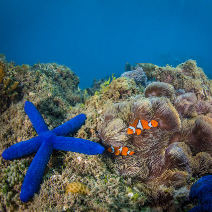 Clownfish, anemone and a blue starfish on reef coral.
