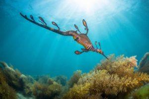 A Sea Dragon found in the waters near Victoria.